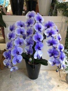 紫3本立ち 胡蝶蘭