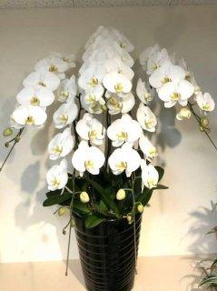 白5本立ち 胡蝶蘭
