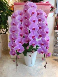 ピンク3本立ち 胡蝶蘭 最高品質