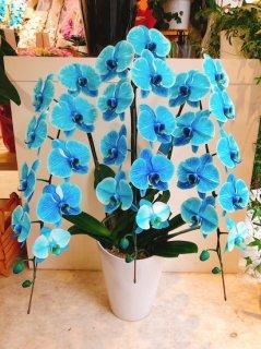 水色3本立ち 胡蝶蘭