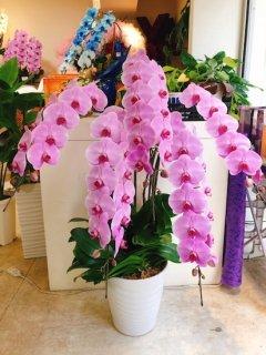 ピンク5本立ち 胡蝶蘭