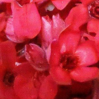 ブルースタ−(レッド) 1輪 プリザーブドフラワー花材