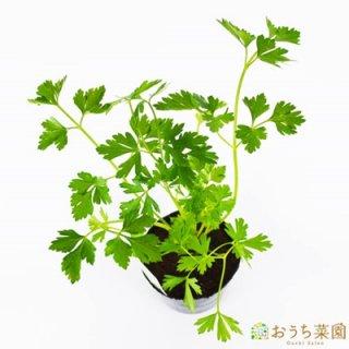 イタリアンパセリ / 苗 / ハーブ 野菜 / 9cm ポット