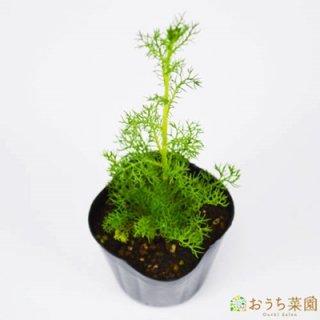 ジャーマンカモミール / 苗 / ハーブ 野菜 / 9cm ポット