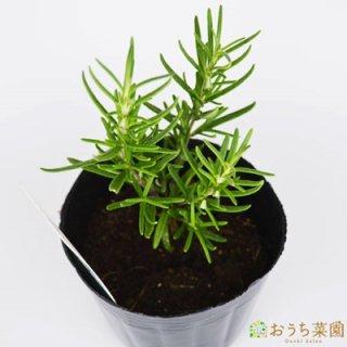 ローズマリー 立性 / 苗 / ハーブ 野菜 / 9cm ポット