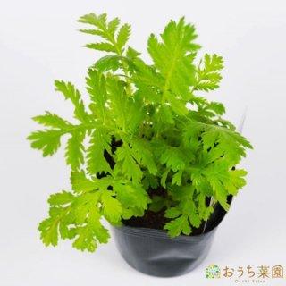 タンジー / 苗 / ハーブ 野菜 / 9cm ポット