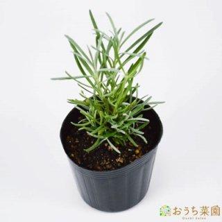 ラバンジン ラベンダー / 苗 / ハーブ 野菜 / 9cm ポット