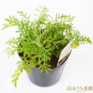 ダイヤーズカモミール / 苗 / ハーブ 野菜 / 9cm ポット