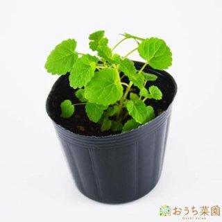アニスヒソップ / 苗 / ハーブ 野菜 / 9cm ポット