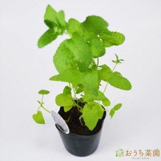 キャットミント / 苗 / ハーブ 野菜 / 9cm ポット
