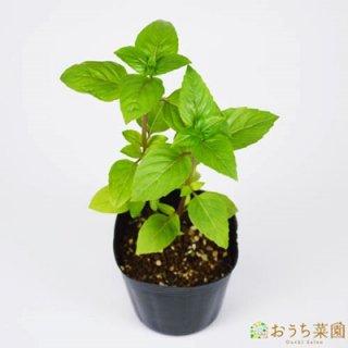 シナモンバジル / 苗 / ハーブ 野菜 / 9cm ポット