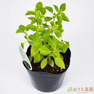 ブッシュバジル / 苗 / ハーブ 野菜 / 9cm ポット