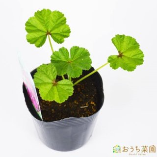 コモンマロウ / 苗 / ハーブ 野菜 / 9cm ポット