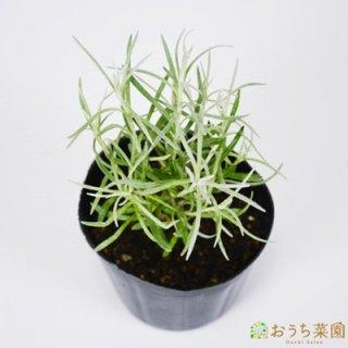カレープラント / 苗 / ハーブ 野菜 / 9cm ポット