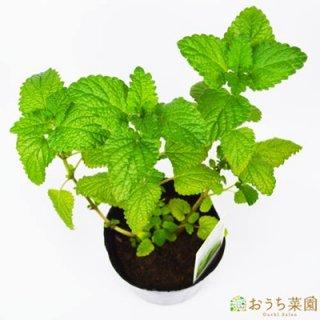レモンバーム / 苗 / ハーブ 野菜 / 9cm ポット