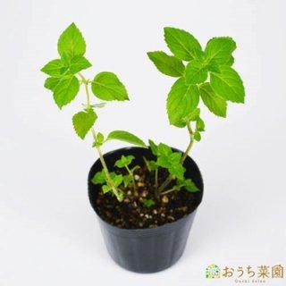 レモンミント / 苗 / ハーブ 野菜 / 9cm ポット