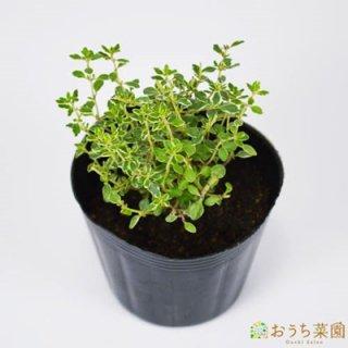 シルバータイム / 苗 / ハーブ 野菜 / 9cm ポット