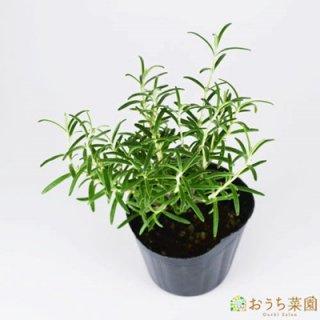ローズマリー アーブ / 苗 / ハーブ 野菜 / 9cm ポット