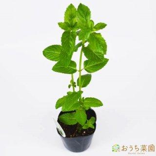 イングリッシュミント / 苗 / ハーブ 野菜 / 9cm ポット