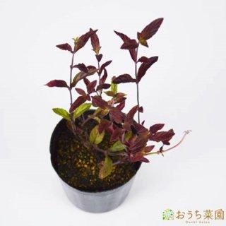 コスミックブルーセージ / 苗 / ハーブ 野菜 / 9cm ポット