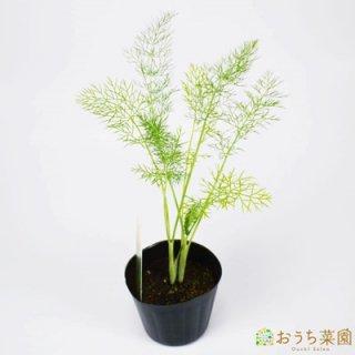 フェンネル / 苗 / ハーブ 野菜 / 9cm ポット