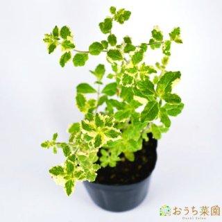 パイナップルミント / 苗 / ハーブ 野菜 / 9cm ポット