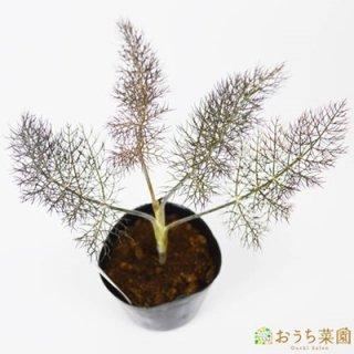 ブロンズフェンネル / 苗 / ハーブ 野菜 / 9cm ポット