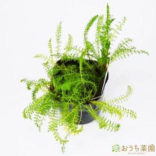 ヤロウ ホワイト / 苗 / ハーブ 野菜 / 9cm ポット