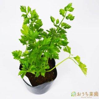 スープセロリ ハーブ セロリ / 苗 / ハーブ 野菜 / 9cm ポット