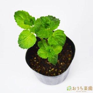 グレープフルーツミント / 苗 / ハーブ 野菜 / 9cm ポット