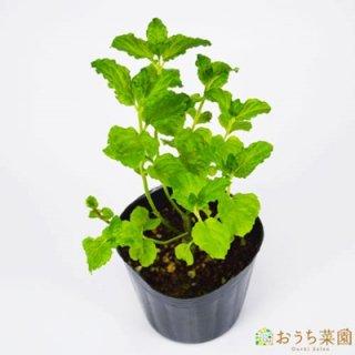 カーリーミント / 苗 / ハーブ 野菜 / 9cm ポット