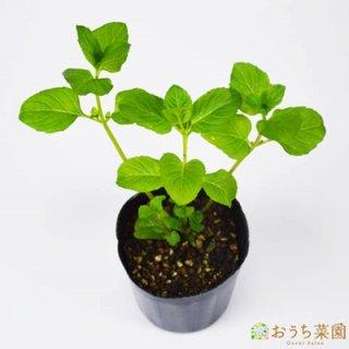 オレンジミント / 苗 / ハーブ 野菜 / 9cm ポット