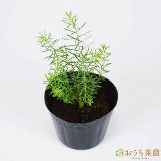 フラックスペレニアル / 苗 / ハーブ 野菜 / 9cm ポット