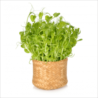 有機 青 えんどう 豆 / 豆苗 / 有機 種子 固定種 / グリーンフィールド / スプラウト [中袋]