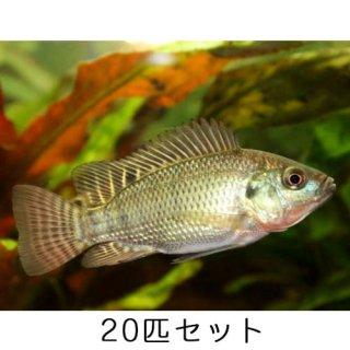 ティラピア / 稚魚 / 20匹 セット