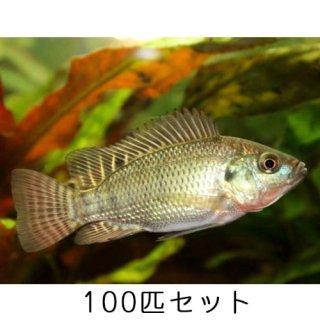 ティラピア / 稚魚 / 100匹 セット