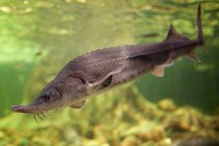 チョウザメ 稚魚 / シベリア 純正種 / 体長15cm (±3cm)