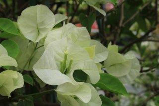 【発送中】ブーゲンビリア ジャマイカホワイト  15cmポット苗