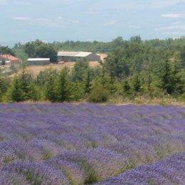ラベンダーブルガリア/Lavender Bulgaria/Lavandula angustifolia