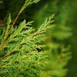 サイプレスリーフ/WILD Cypress Leaf/Cupressus sempervirens
