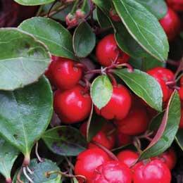 ウインターグリーン/Wintergreen/Gaultheria procumbens