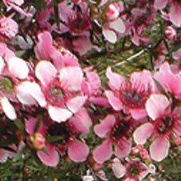 マヌカ/Manuka/Leptospermum Scoparium