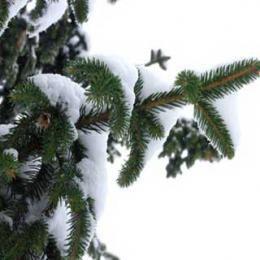 ワイルドシルバーファー/Wild Silver fir/Abies alba