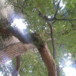 ホーウッド/Ho wood/Cinnamomum camphora