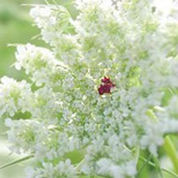 キャロットシード/Carrot seed/Daucus carota