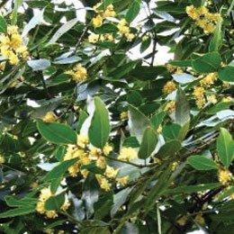 ローレルベリー/laurel berry/Laurus nobilis