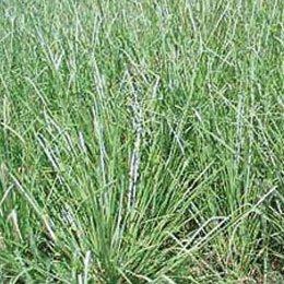 ベチバーインドネシア/Vetivert/Vetiveria zizanoides