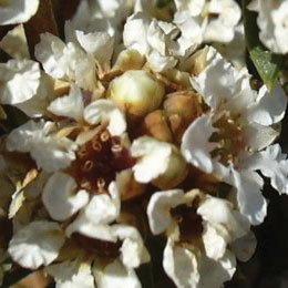 フラゴニア/Fragonia/Agonis fragrans