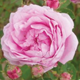 モロッコローズオットー/Rose Morocco Oil/Rosa Centifolia