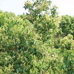シナモン(葉)/Cinnamon leaf/Cinnamomum verum